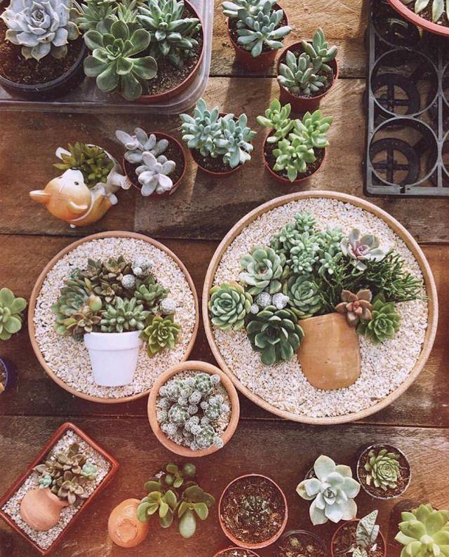 Succulents in pots trend