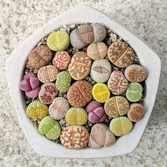 Colorful succulent lithops in planter