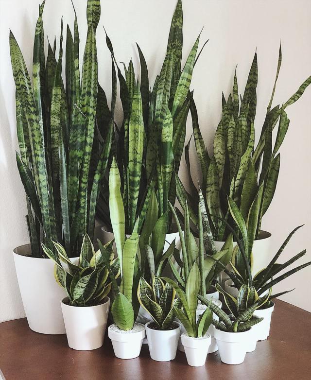 Snake plants in white planters sansevieria trifasciata