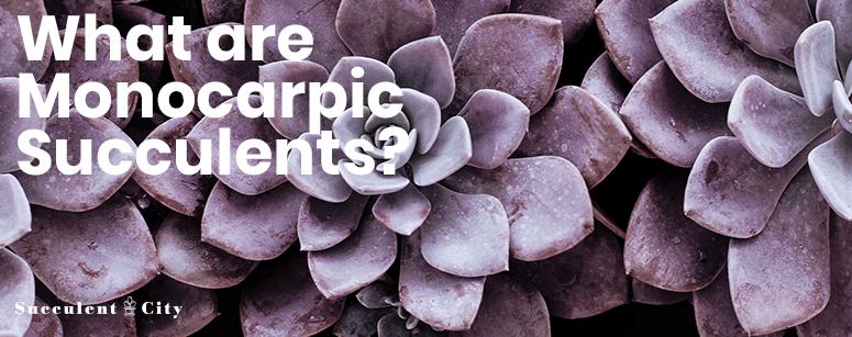 What are monocarpic succulents