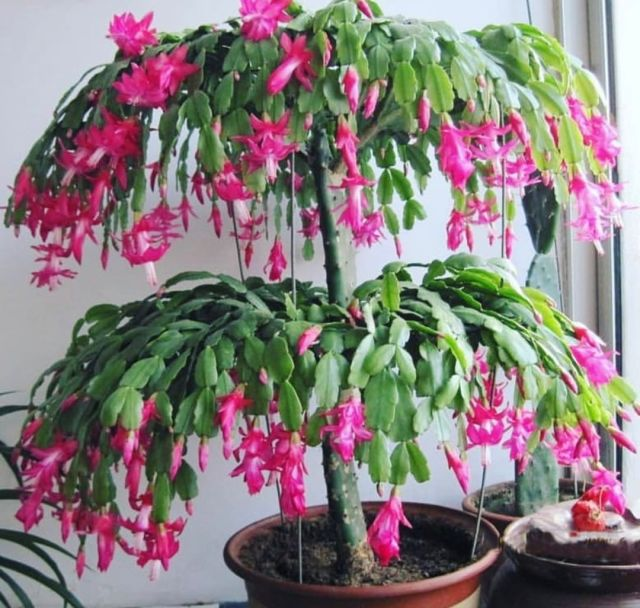 Christmas Cactus— Schlumbergera Bridgessii