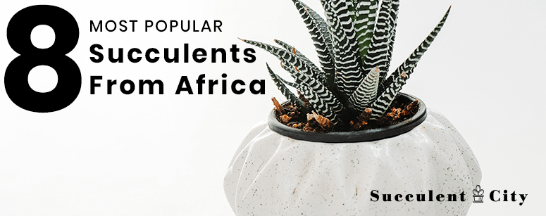 8 Popular Succulents from Africa