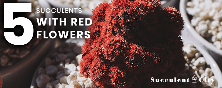 5 Succulents with Red Flowers