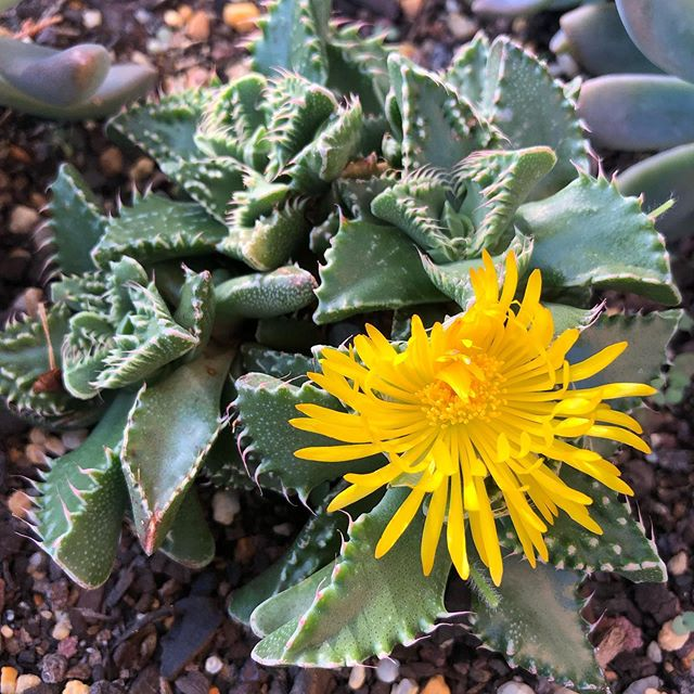 What Exactly Is A Crested Monstrose Succulent