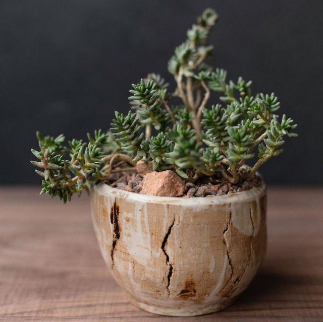 14 Sedum Succulents You Need in Your Garden