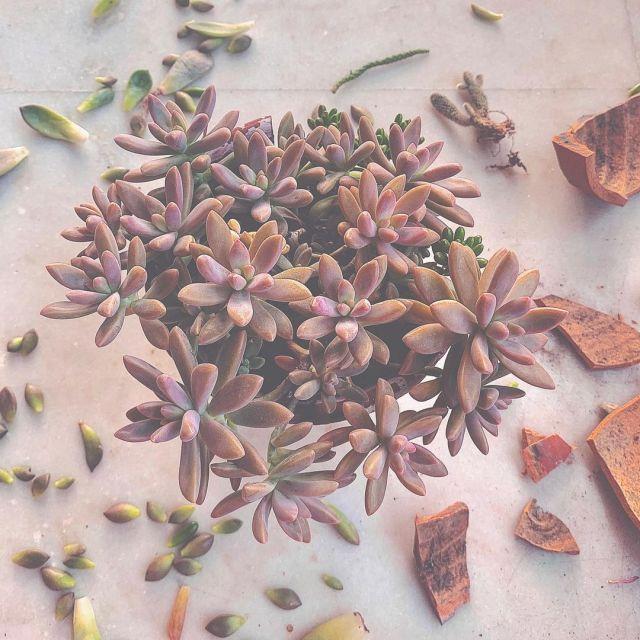Pink Succulents-Graptosedum' Francesco Baldi'-SC