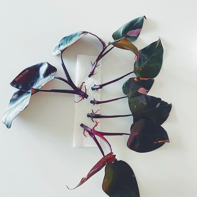 Propagating Leaves Outside-Step-by Step process-Leave cuts in water-than soil-SC