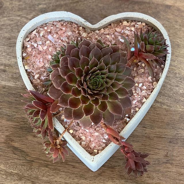 Plant Car-What kind of succulent do I choose for my car-Hens and Chick-SC