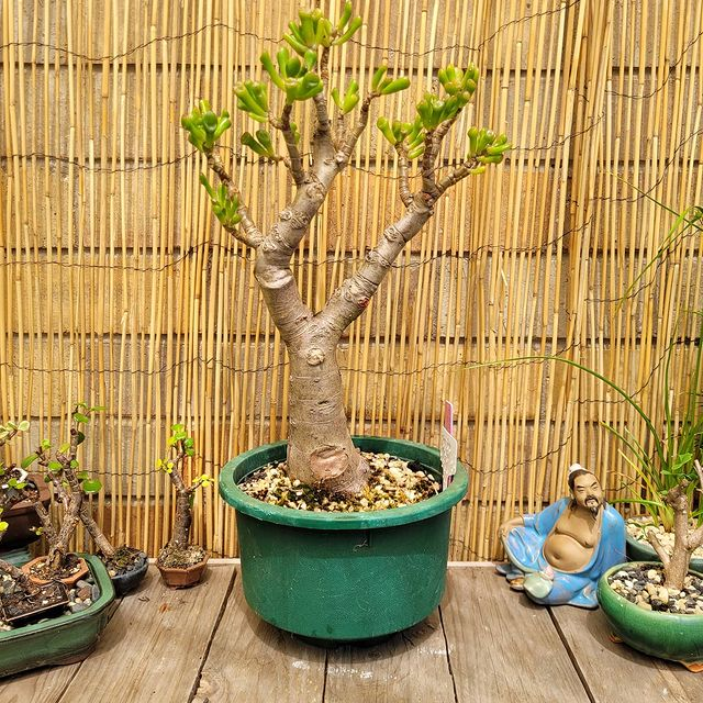 Gollum Jade-Light Grown Indoor Indoors with adequate light-SC