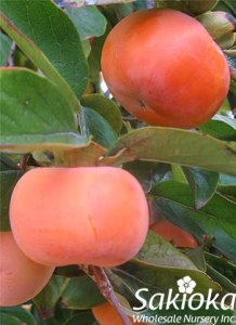 fuyu-persimmon