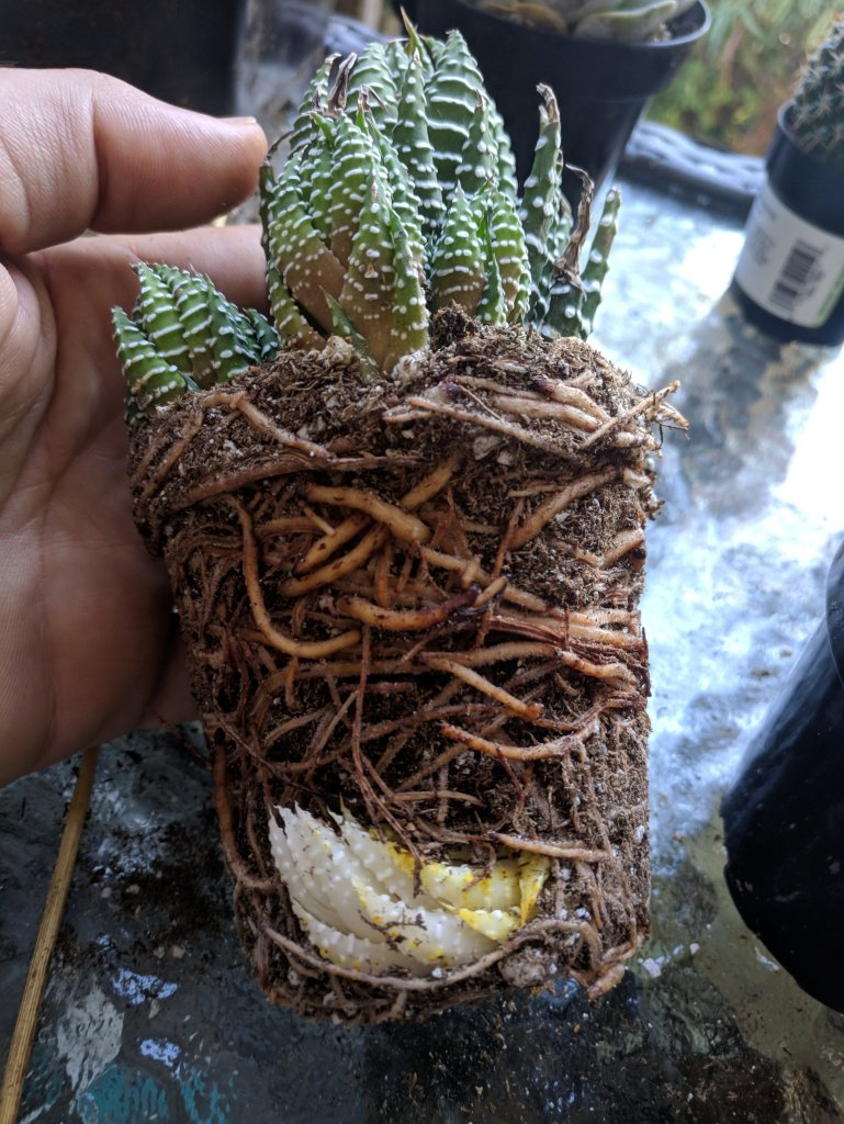 root bound and light deprived