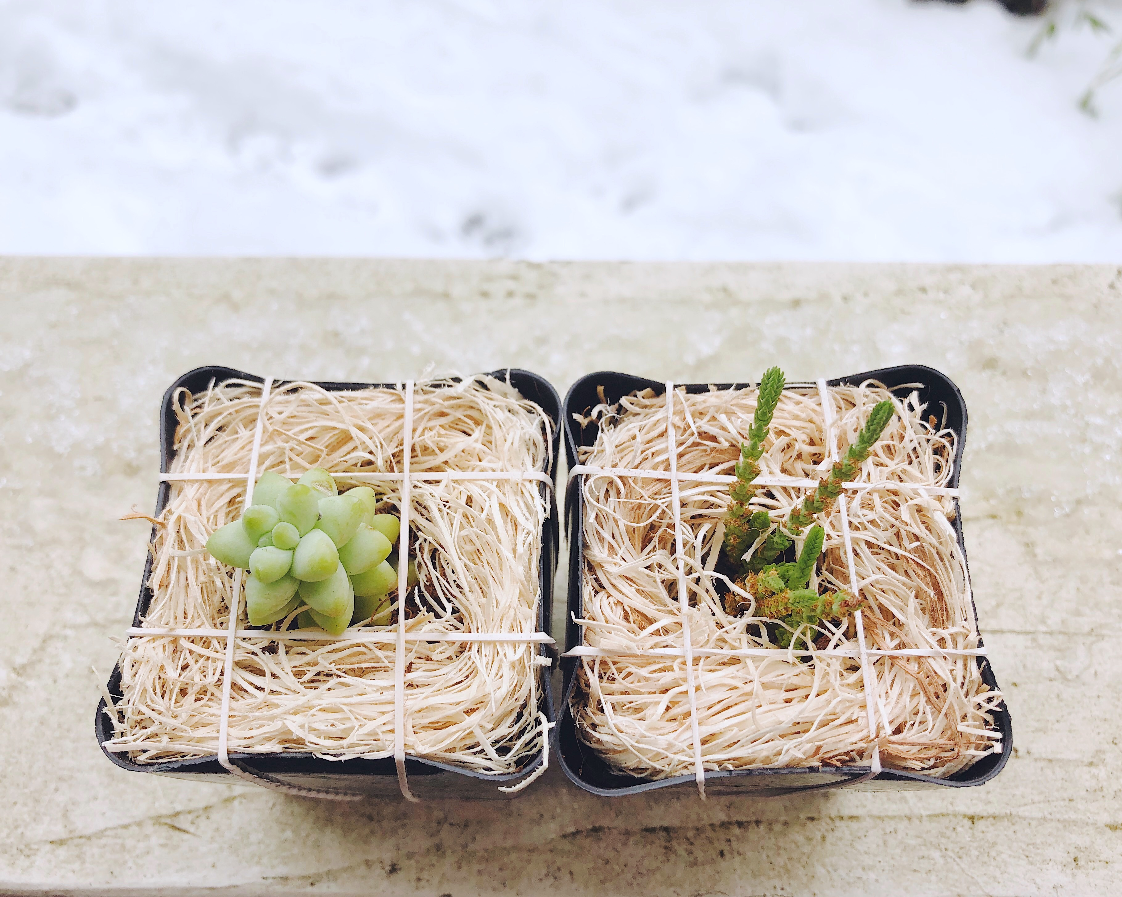 How to Heal Frostbitten Succulents