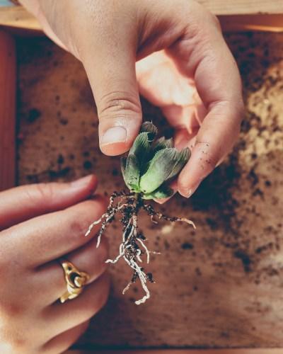 wamans-hand-prepare-succulent-for-planting_t20_a71ALv