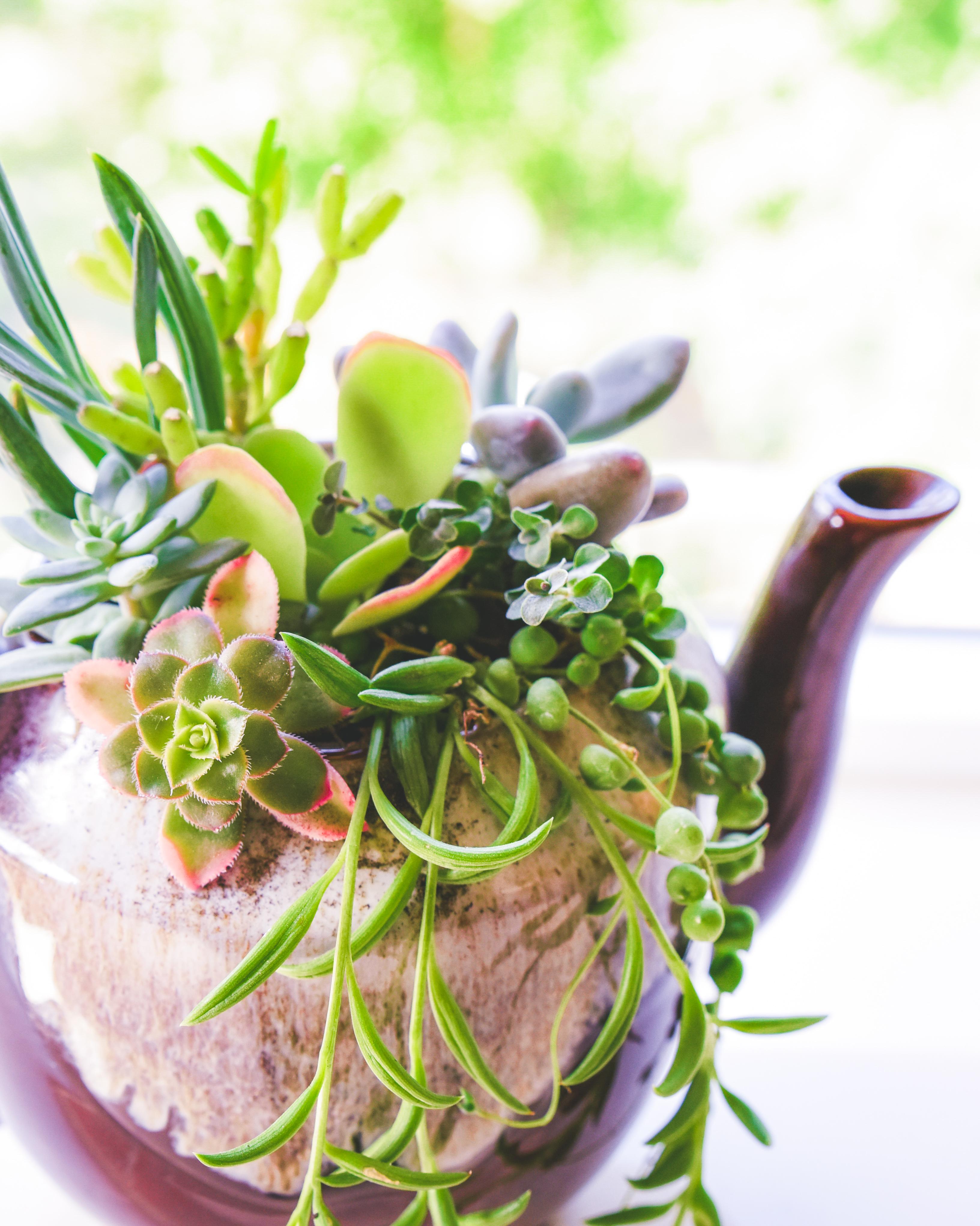 5-Step Succulent Teapot DIY