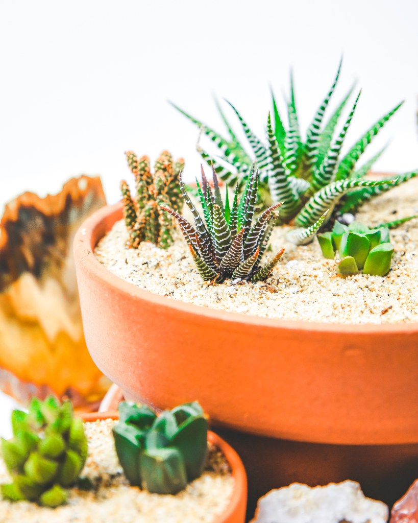 succulents and cactus history and origin of succulents