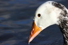 Close-up of a goose with a water droplet at the end of its beak