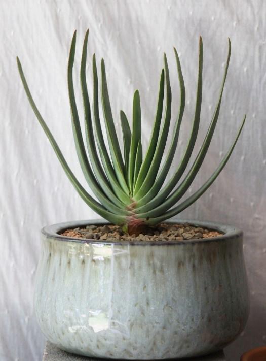 Aloe plicatilis 'Fan Aloe,' 'Tree Aloe'
