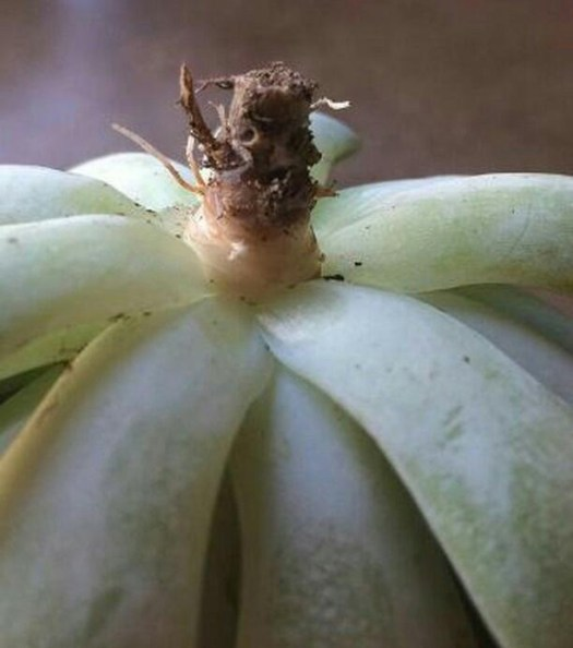 Possible root rot echeveria