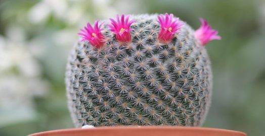 Mammillaria haageana cactus - by Sucs for You