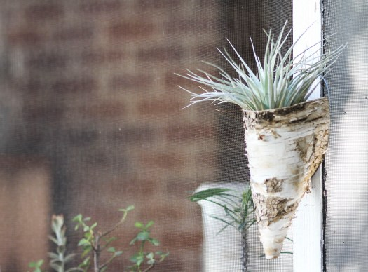 Tillandsia 'Houston' in birch bark hanger