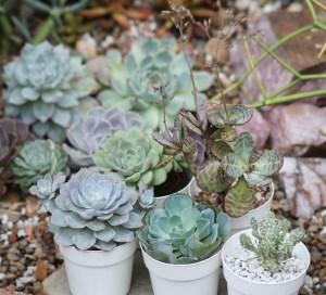 Medium Variety Pack Succulents