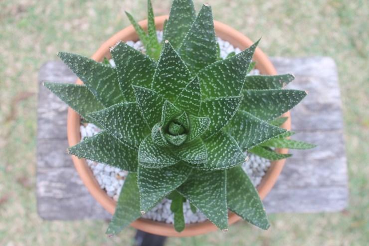 Aloe aristata x Gasteria