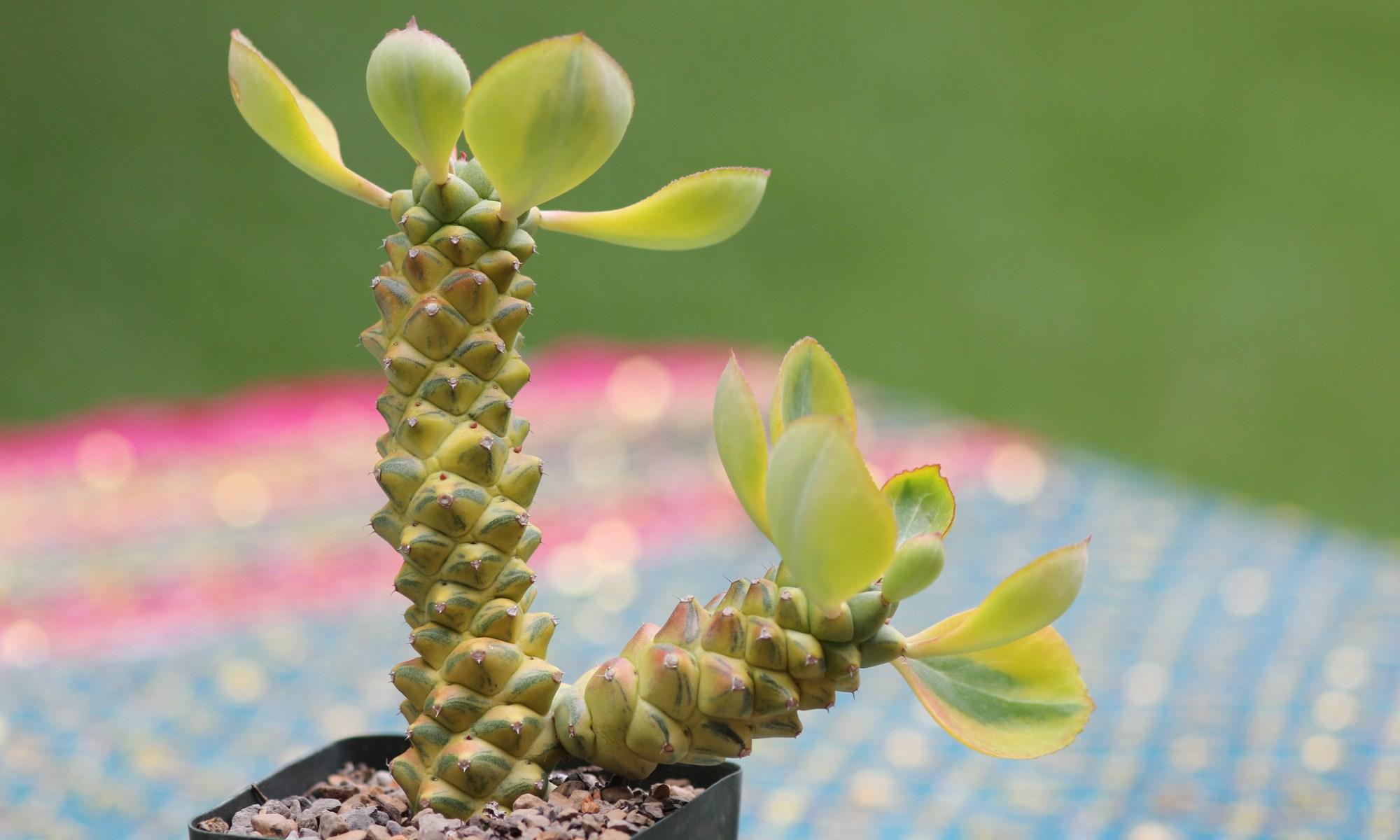 Euphorbia (Monadenium) ritchiei variegata