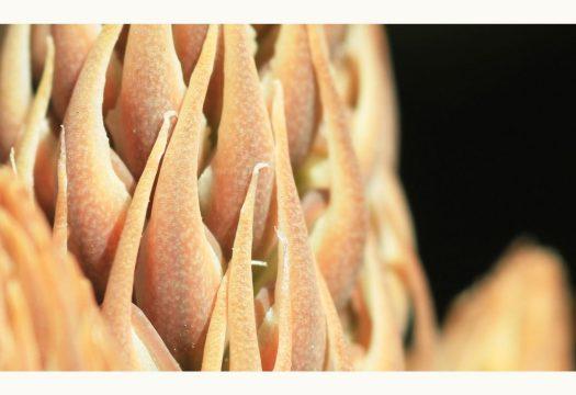 Aloe maculata flower, macro