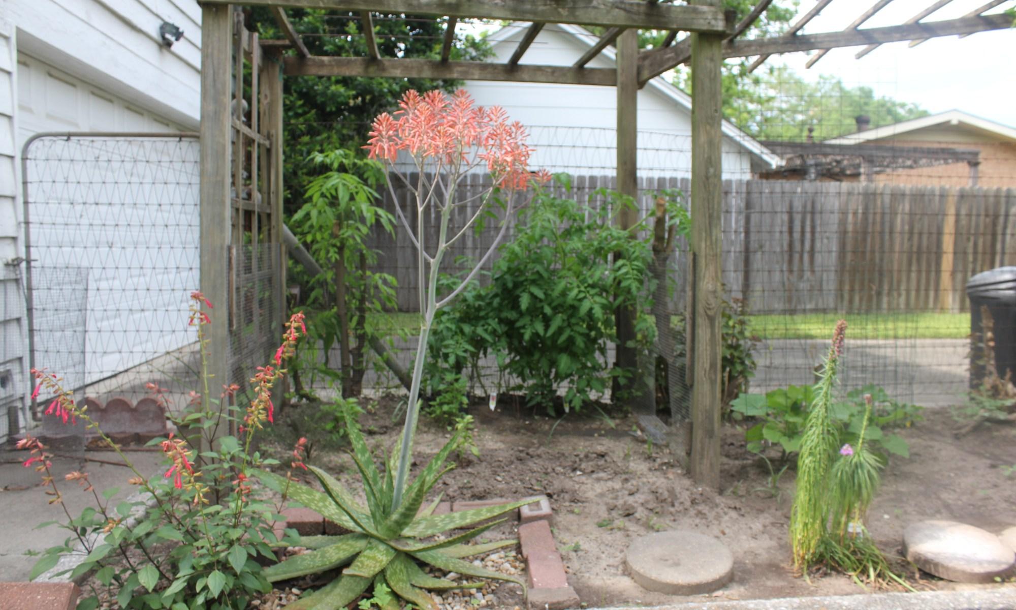 Aloe maculata in bloom