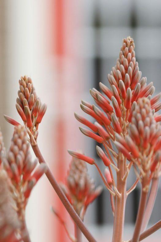 Aloe maculata flowers