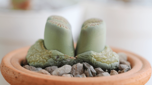 Lithops 101 - What you need to know to keep them alive