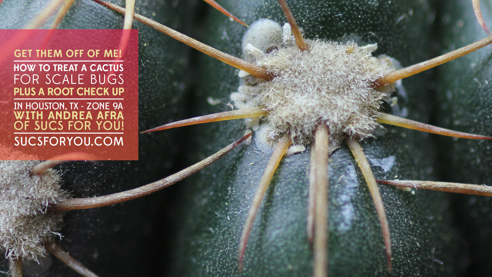 How to treat a cactus for scale