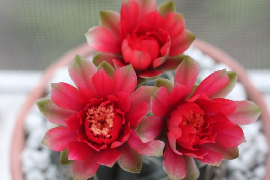 Photo: In flower, the humble Gymnocalycium baldianum becomes ridiculously beautiful