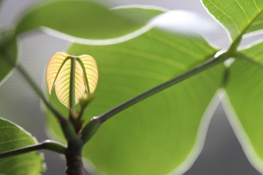 Photo: New spring leaf growth on a Pseudobombax ellipticum (Shaving Brush Tree)
