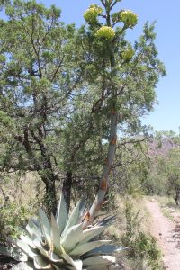 Agave havardiana in flower, Big Bend National Park, Texas