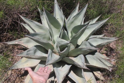 Agave havardiana, Big Bend National Park, Texas
