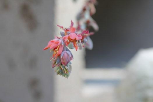 Echeveria Topsy Turvy flower