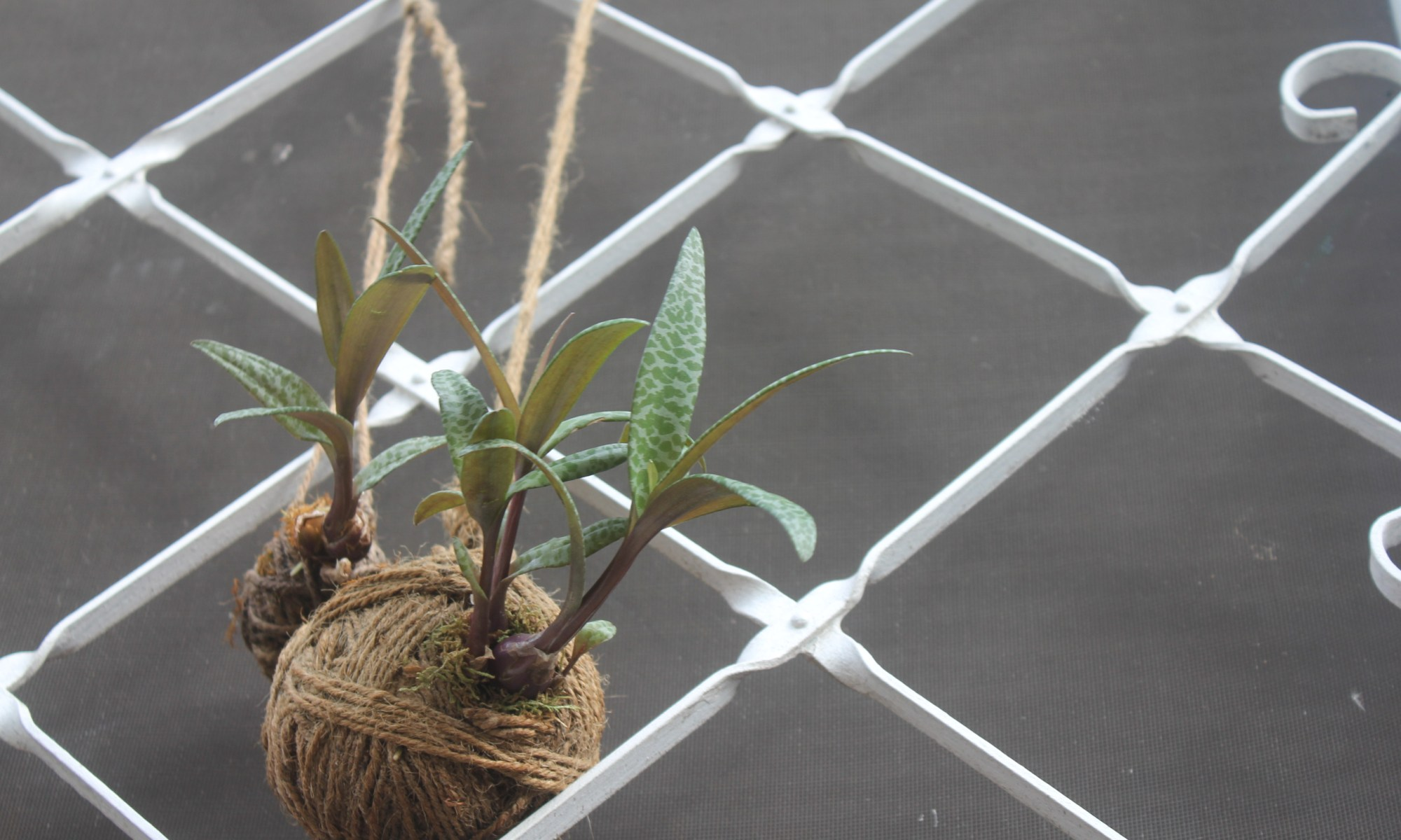 Ledebouria socialis Silver Squill