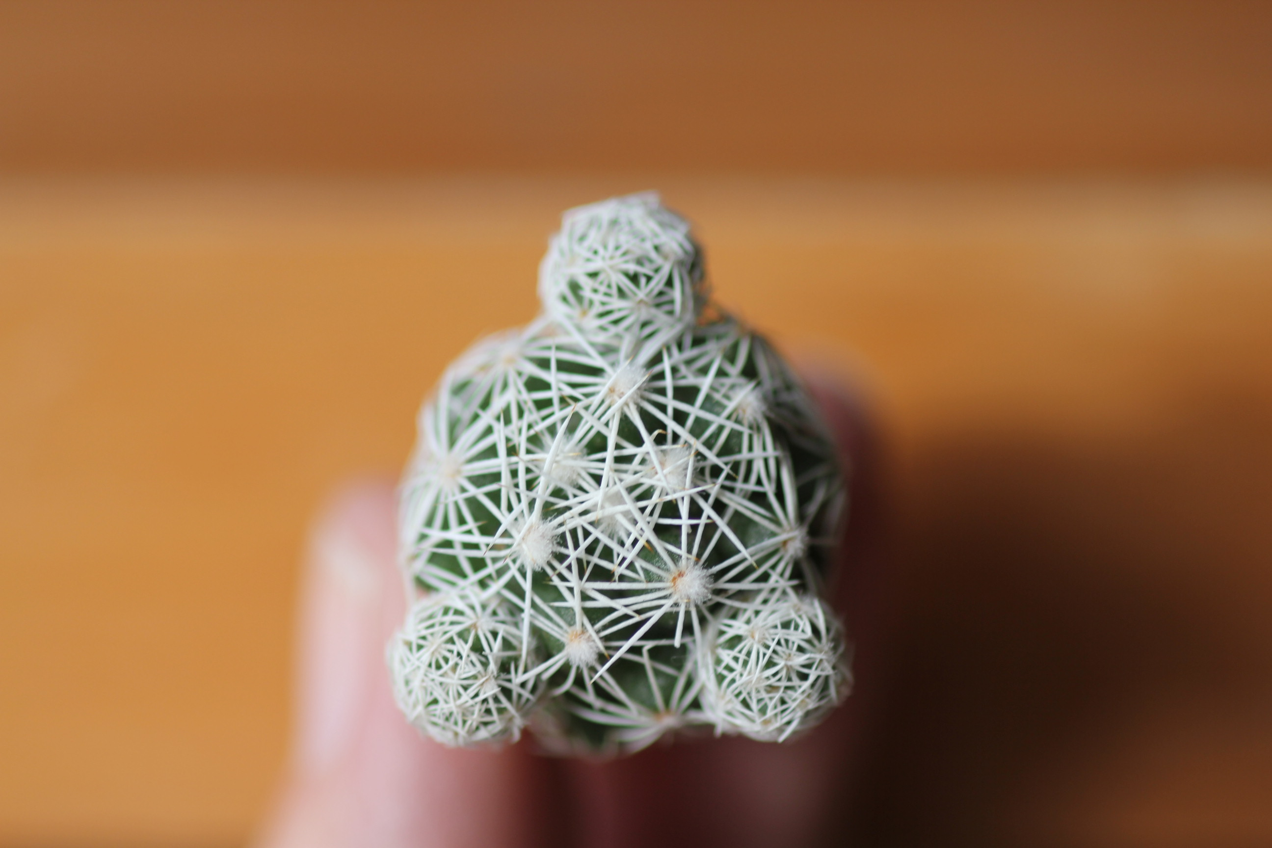 Mammillaria gracilis fragilis Thimble cactus