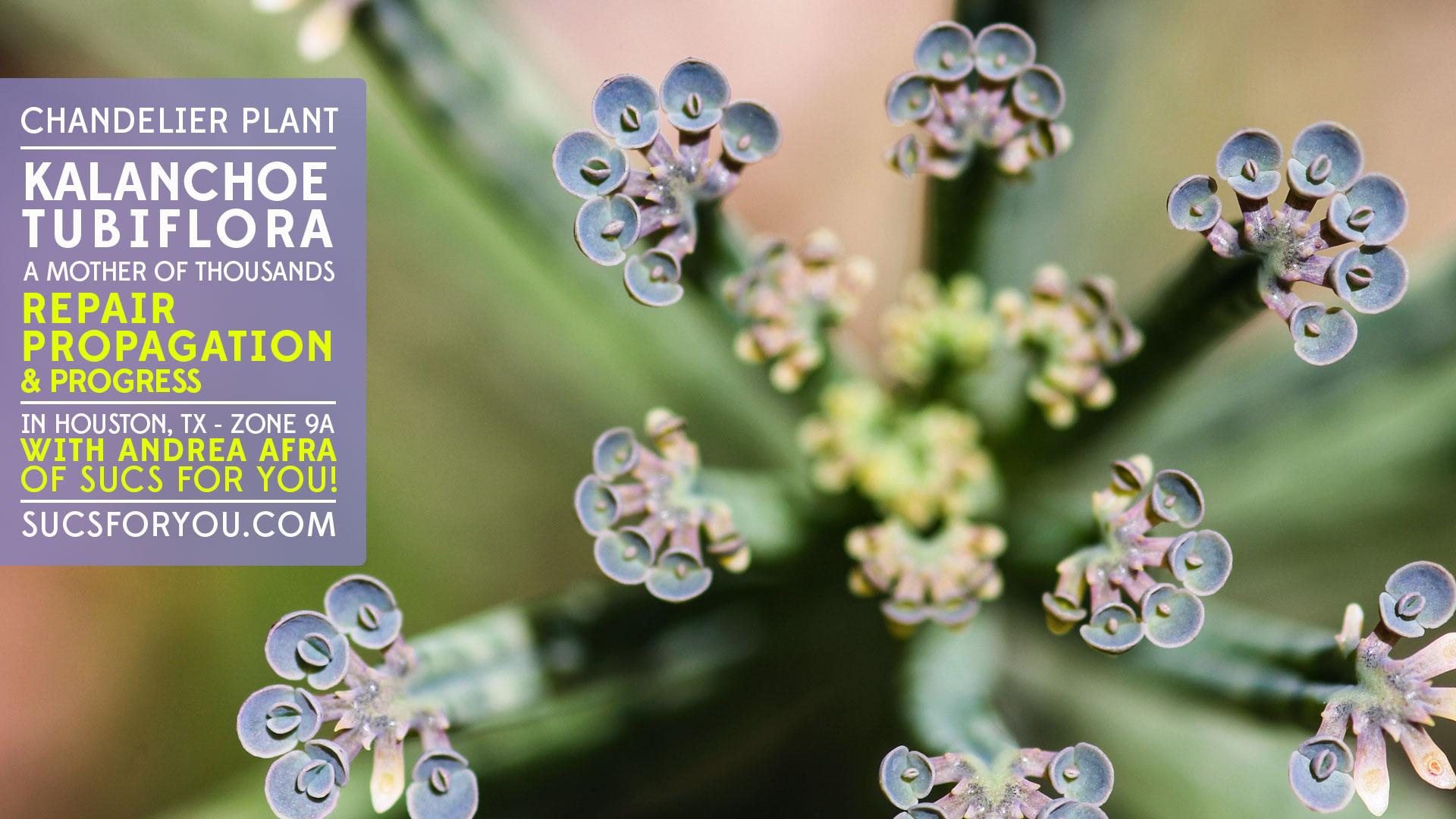 Kalanchoe tubiflora Mother of Thousands Chandelier plant