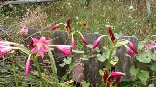 arboretum lillies