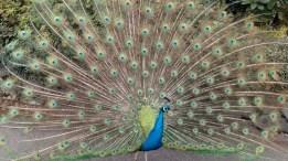 zoo-peacock