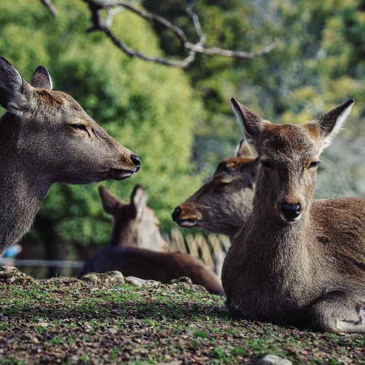 Resting deer on the green grass in the Nara deer park. Nara Japan