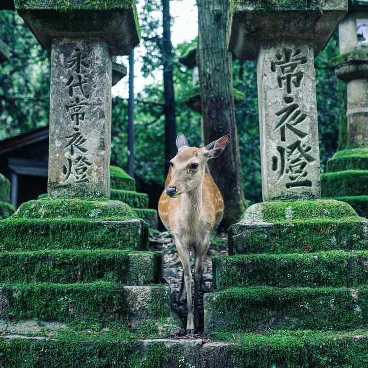 A deer standing between stone lanterns covered in moose. Nara deer park, Nara, Japan