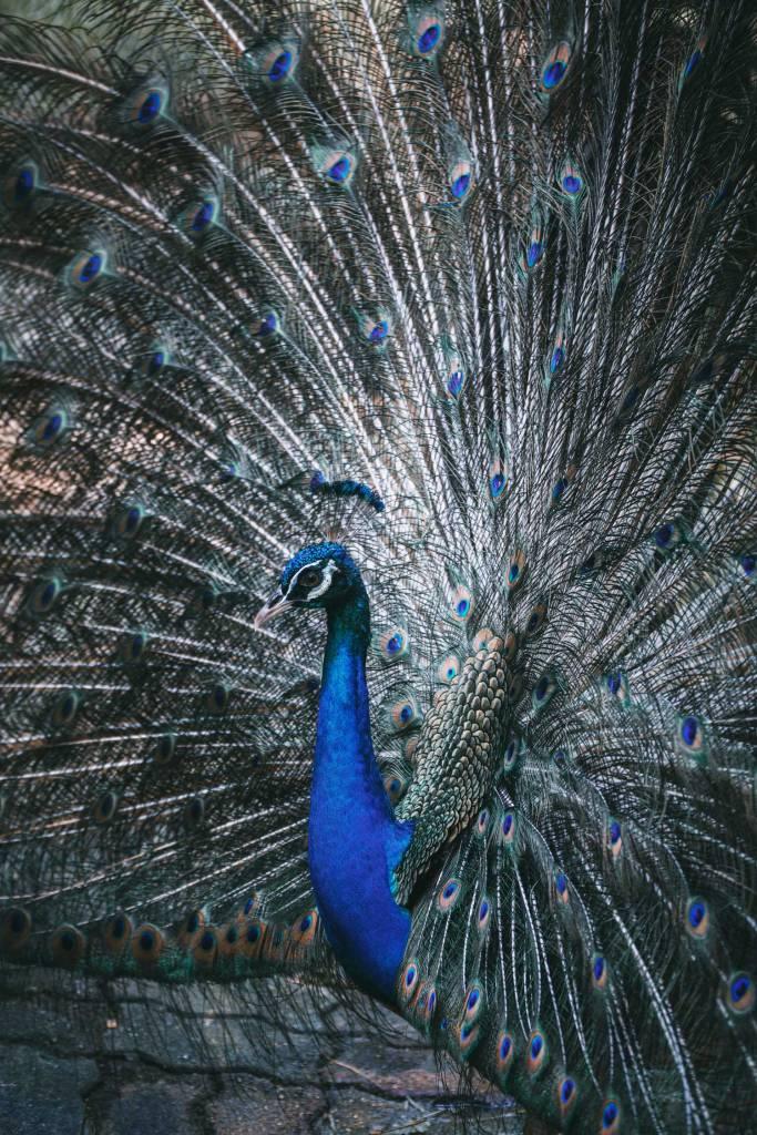 Peacock in Kuala Lumpur Bird Park, Malaysia