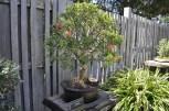 Japanese Garden at the Huntington (12)