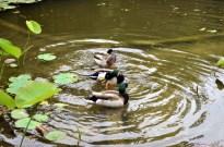 Ducks in a Row (3)