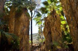 desert-palms-2