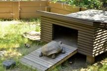 Henry the Desert Tortoise (4)
