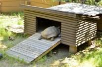 Henry the Desert Tortoise (5)